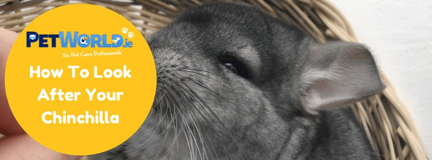 how to look after your chinchilla