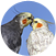 About Cockatiels