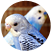 About Budgerigars